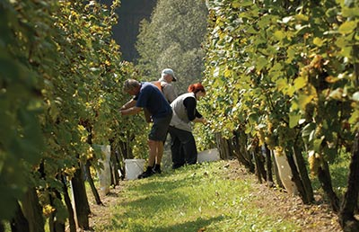 Grape-Pickers-in-Vineyard